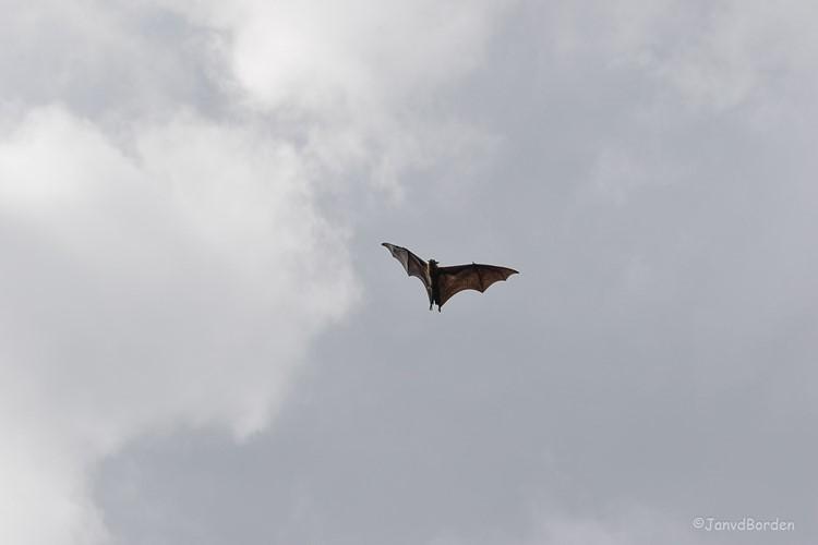 Vleerhond vliegend