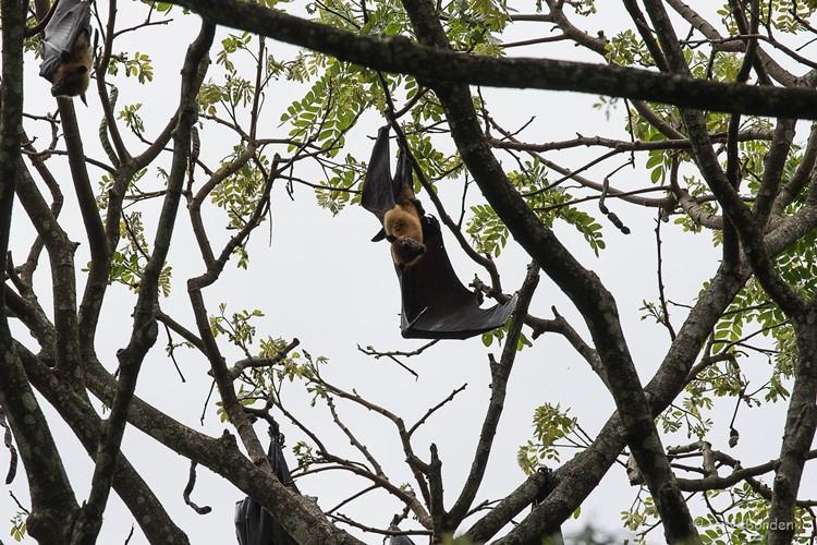 vleerhond hangend